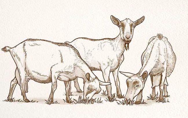 Portfolio croquis de chèvre sur papier aquarelle pour fabrication de lait bio